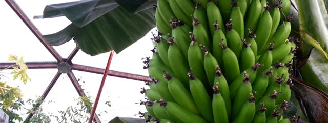 berga bananer